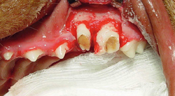 Canine dental implant
